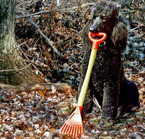 Image result for dog rake